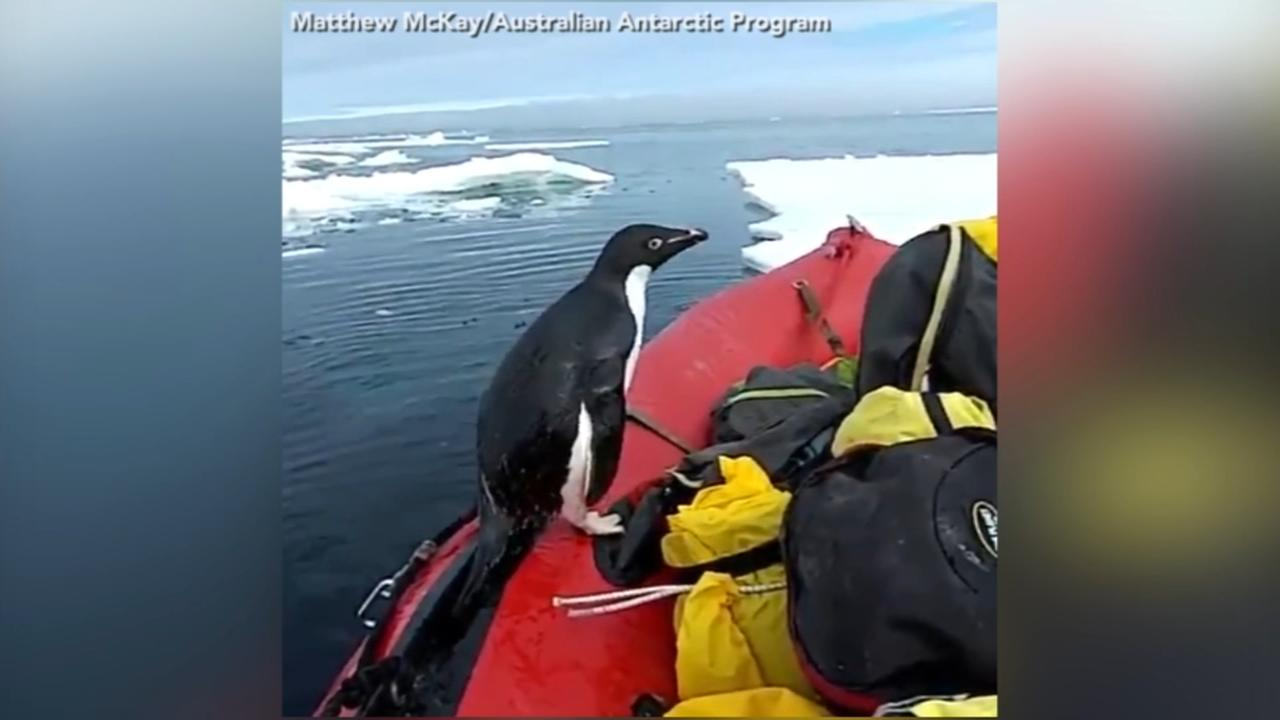 VIDEO: Curious penguin jumps onto boat