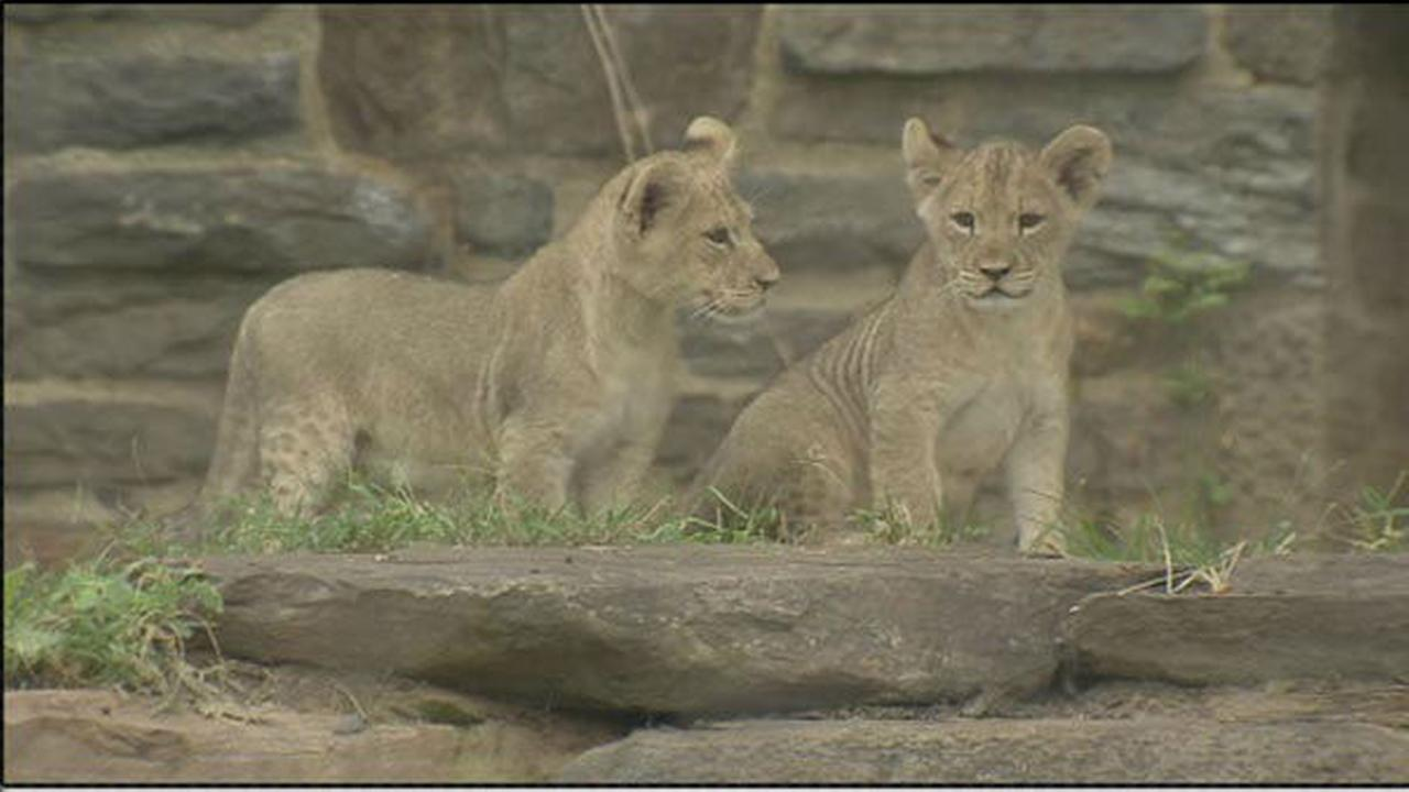 PHOTOS: Philadelphia Zoo shows off 4 lion cubs