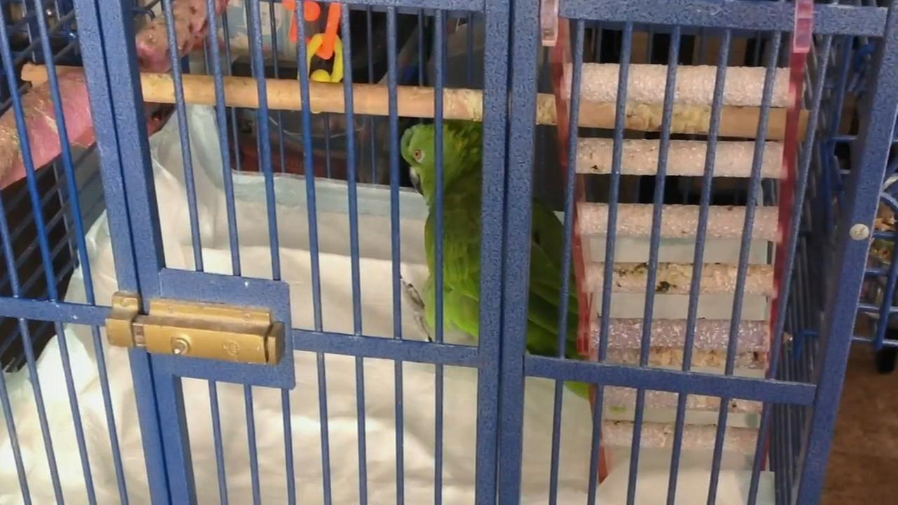 Daytona, the parrot sings Eagles fight song