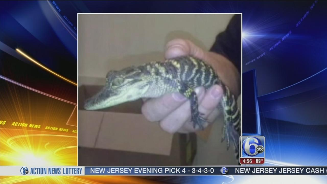 VIDEO: Alligator found in Pa. grocery store