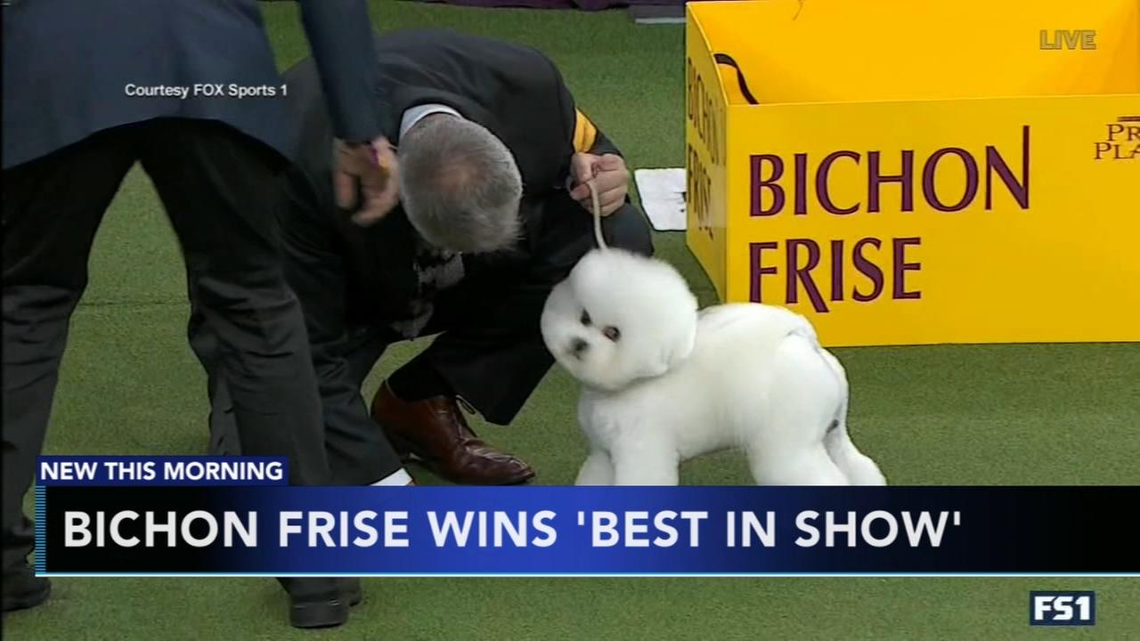 Bichon frise becomes Americas top dog