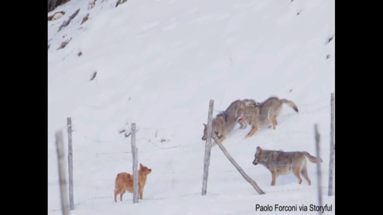 Wolves attempt to attack dog in Abruzzo, Italy