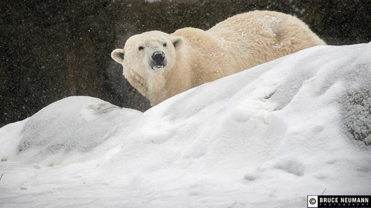 Philadelphia's Coldilocks, the oldest captive polar bear in the U.S., dies