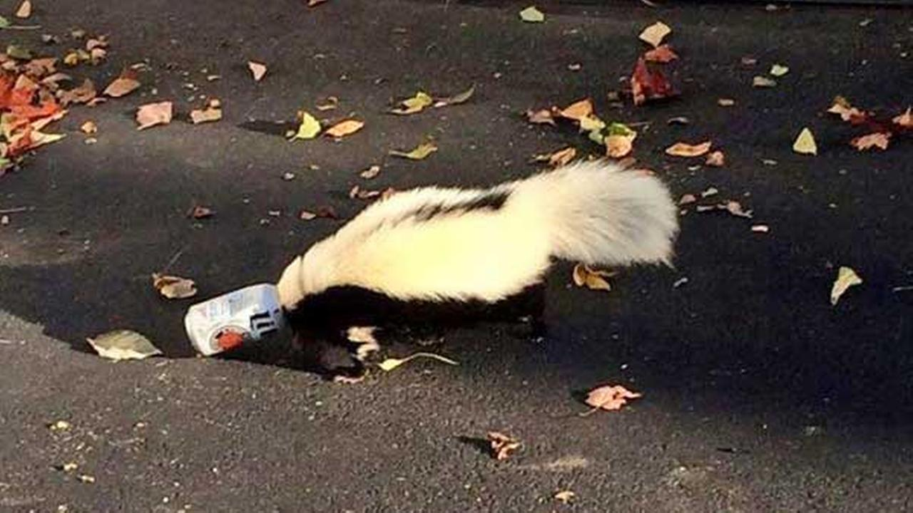 This photo taken Sunday, Sept. 14, 2014  shows a skunk with its head stuck in a beer can near a fraternity house at Miami (Ohio) University.
