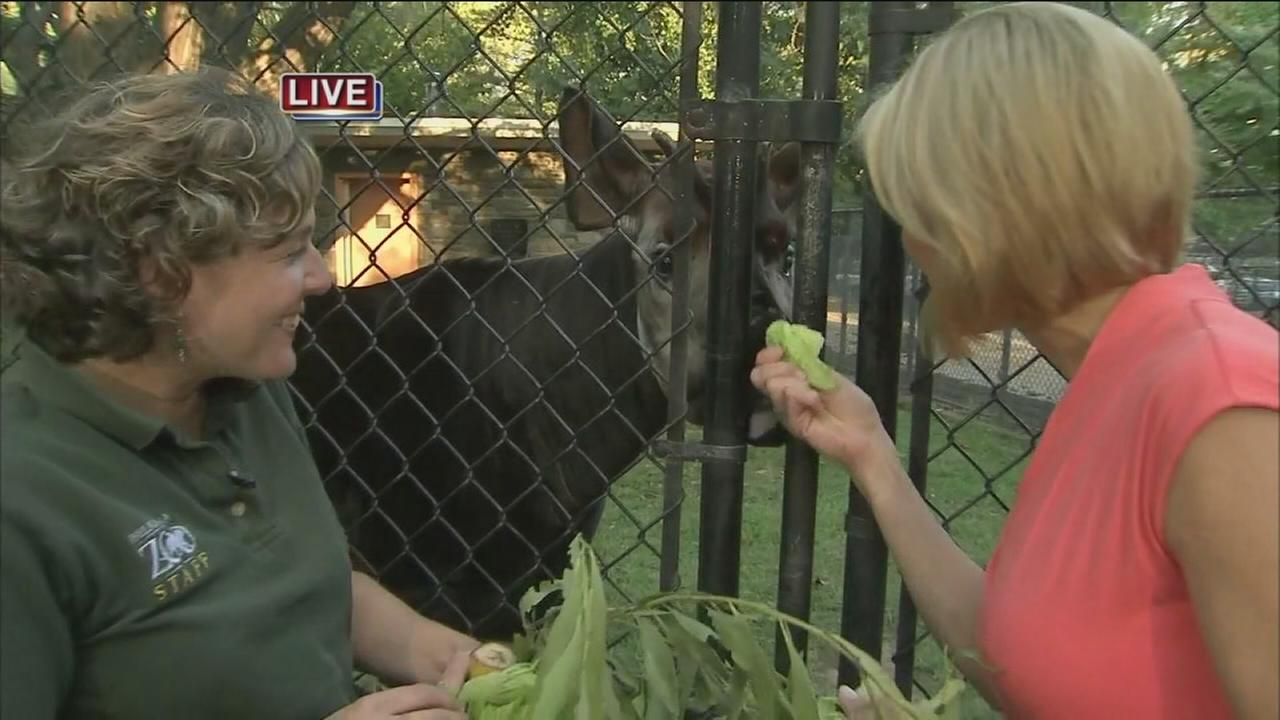 VIDEO: Cecily Tynan at the Zoo with an Okapi