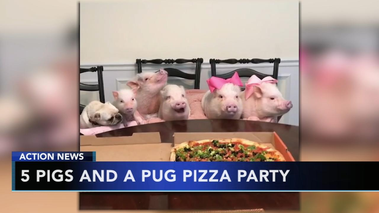 VIDEO: Five pigs and a pug have a pizza party