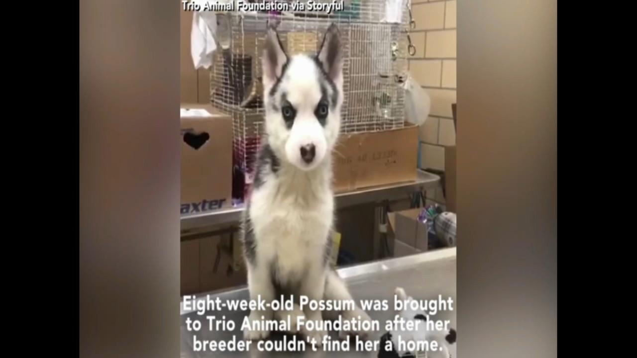 Siberian Husky puppy with leg deformities rescued by animal foundation