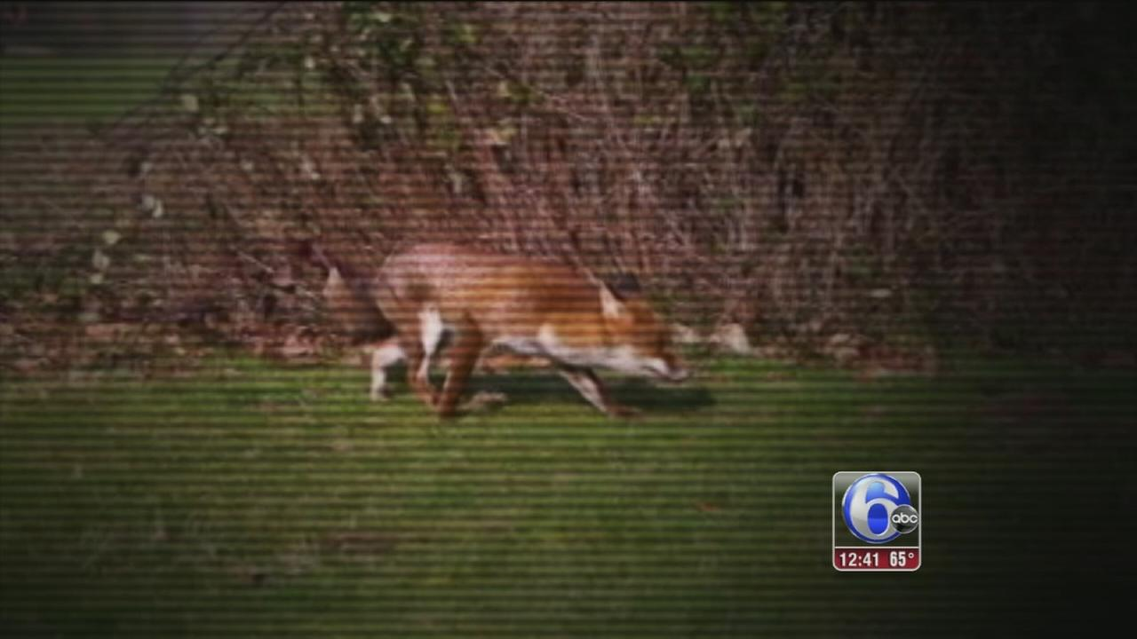 VIDEO: Fox tested for rabies after attacks