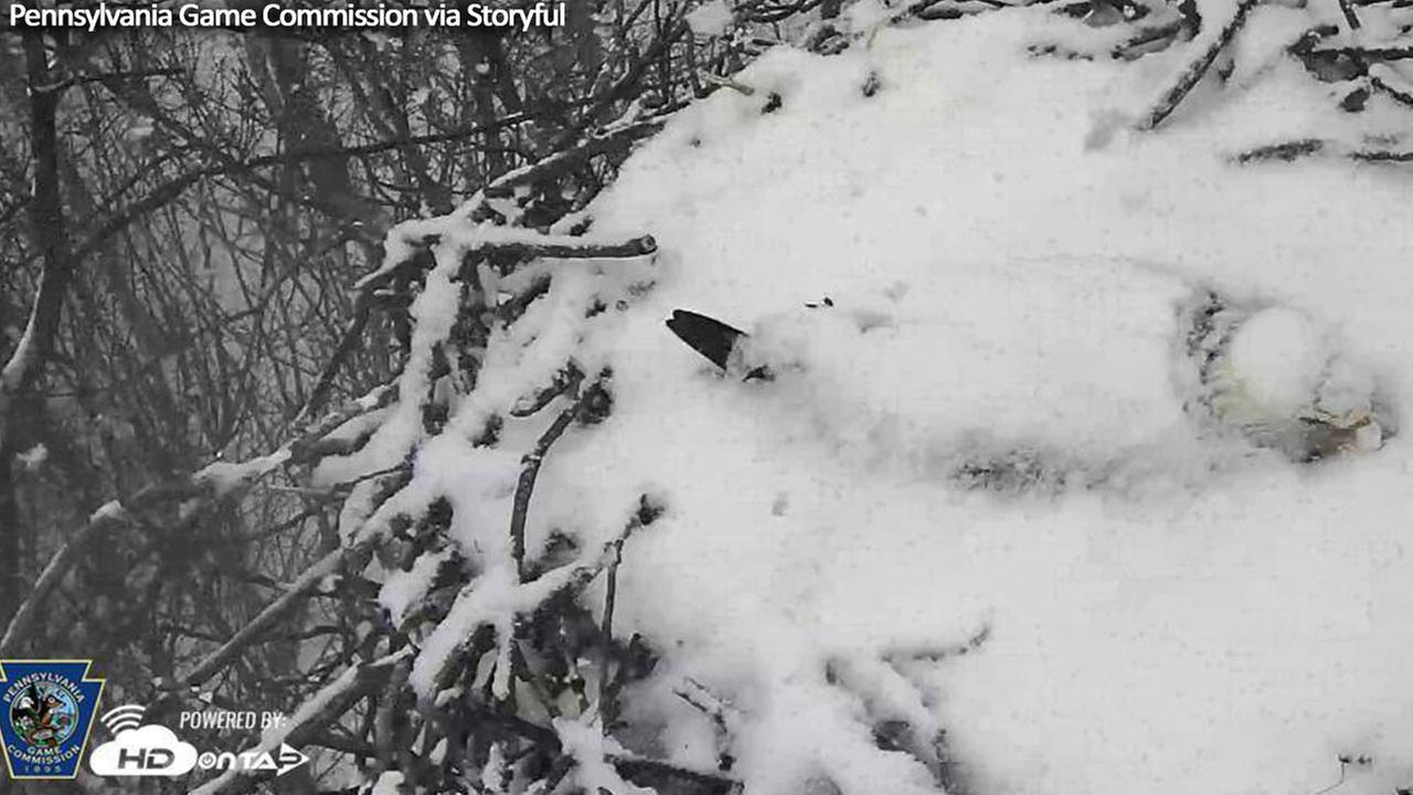 Bald eagle braves snow and cold temperatures to protect eggs