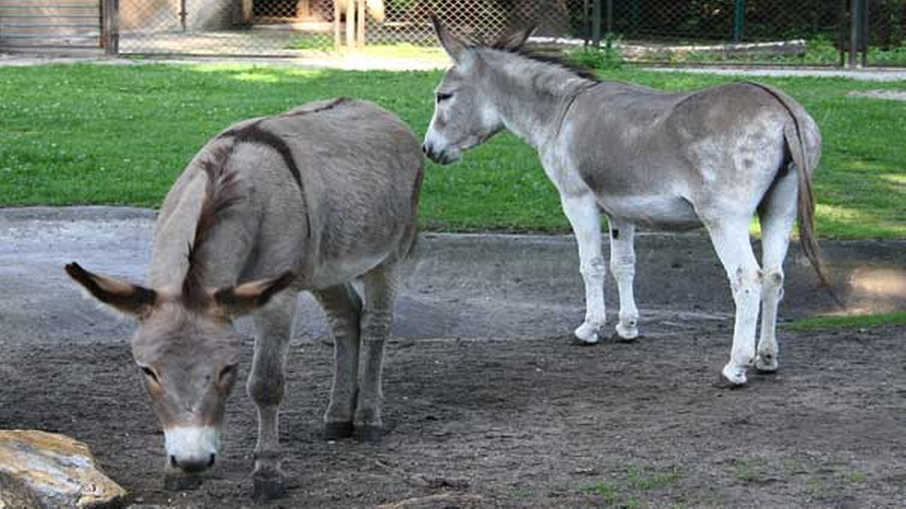 FILE - In this file photo from Aug. 11, 2010, two donkeys, Napoleon, left, and Antosia, stand near each others at a zoo in Poznan, Poland.