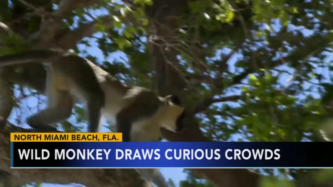 Loose monkey draws curious crowds in South Florida
