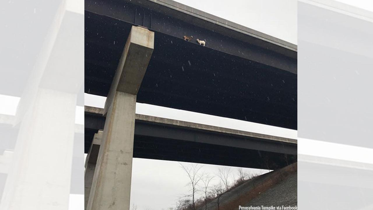 Two goats were rescued from a beam on the Mahoning River Bridge.
