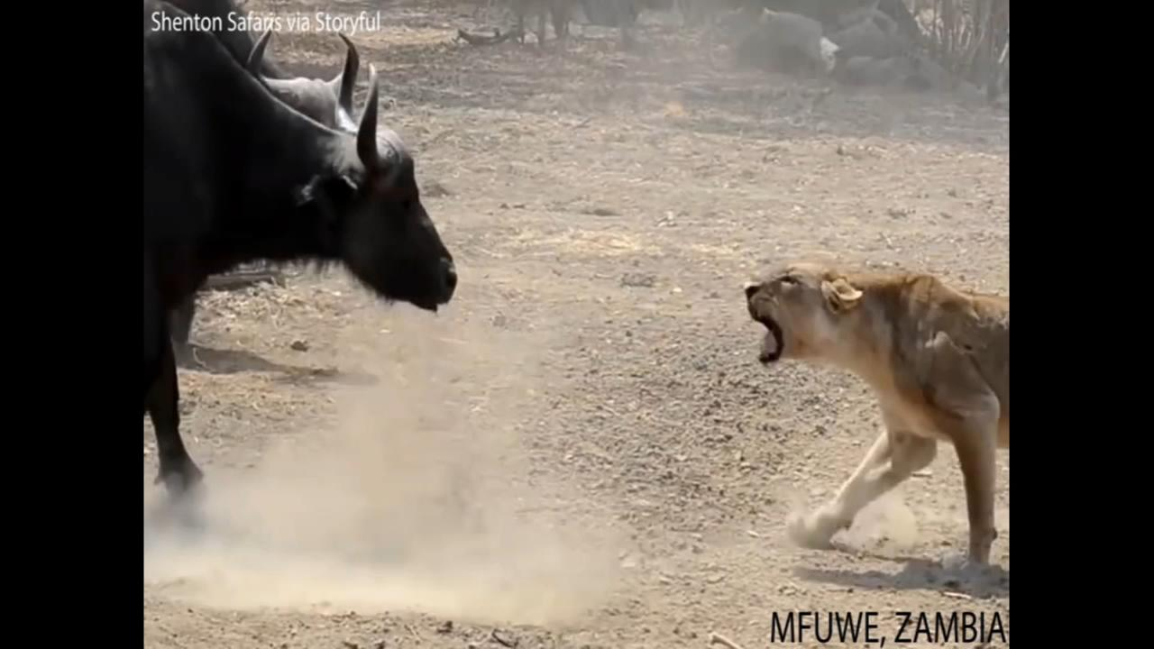 Buffalo herd stands its ground during attack by lion pride