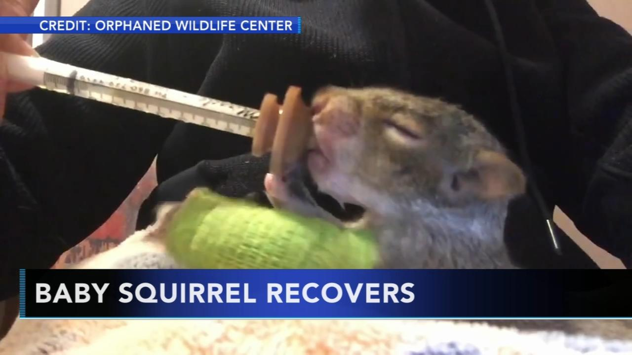 Baby squirrel recovers