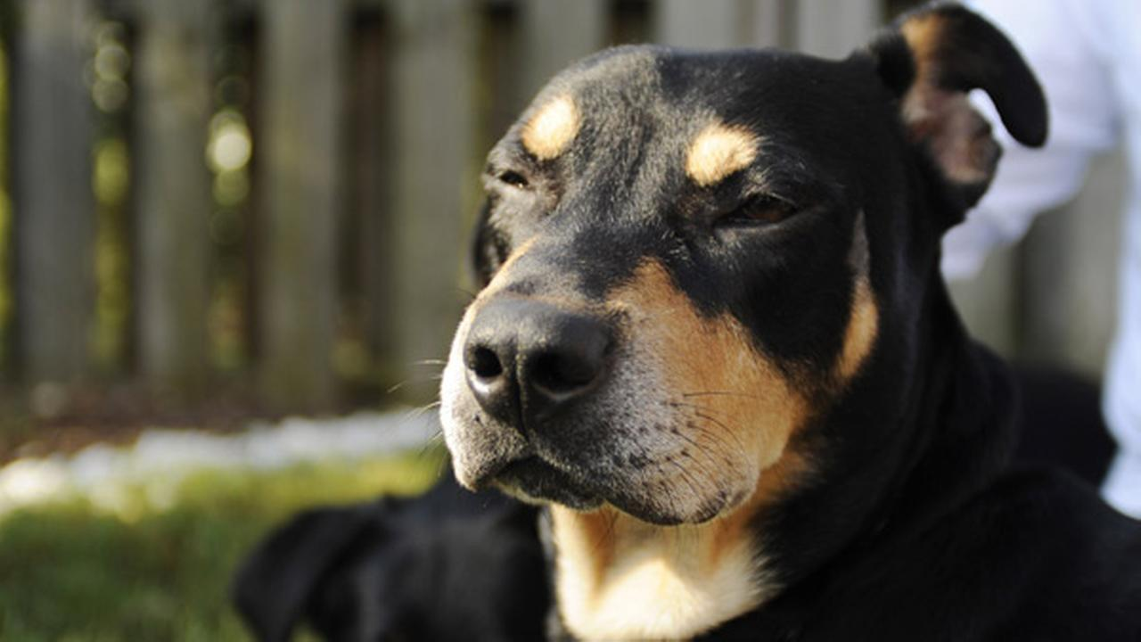 Lazarus, a mixed-breed dog who survived a euthanasia attempt and a car accident, sits in the sun at its new home in Helena, Ala., on Wednesday, Oct. 1, 2014.