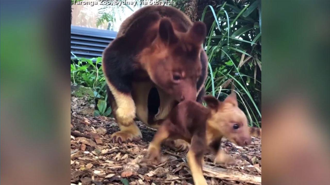 Baby kangaroo takes first hops at Australian zoo