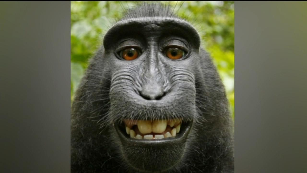 Court says animals cant copyright selfies