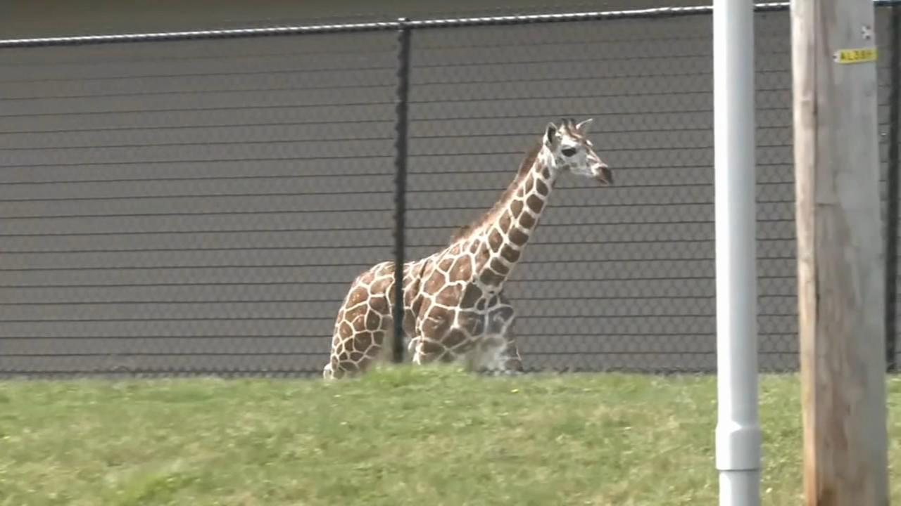 Giraffe makes a run for it in Indiana