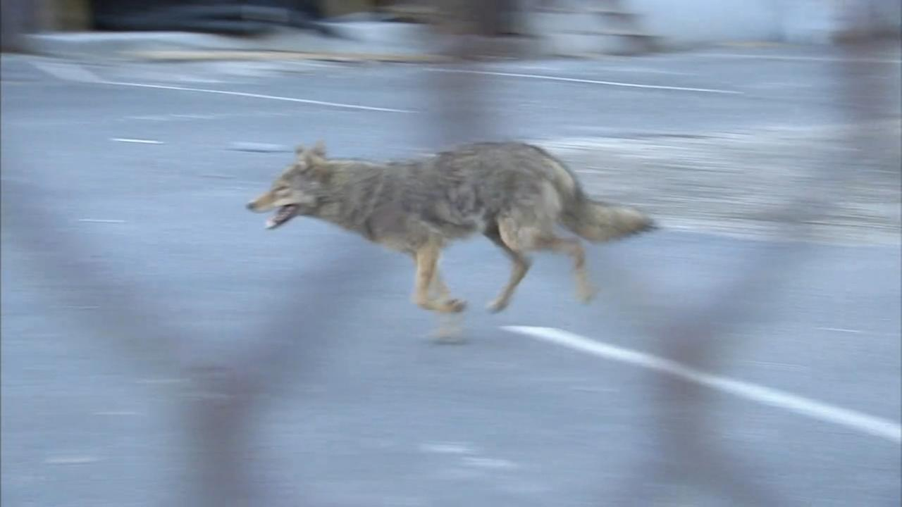 Wily coyote caught in South Philadelphia