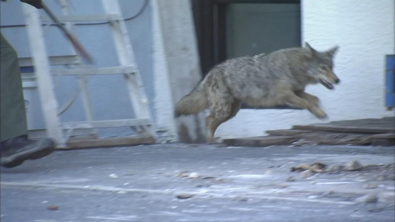 Police corral coyote for 2nd time this week in Philly