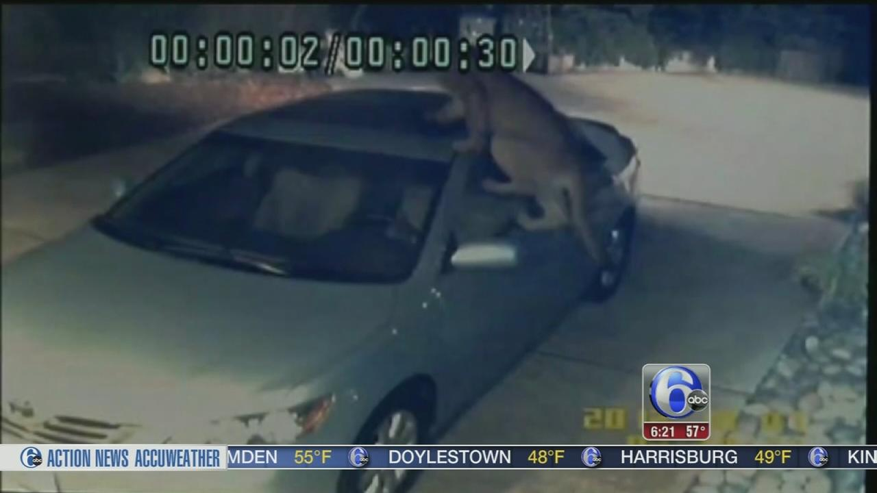 VIDEO: Mountain Lion caught climbing Toyota Camry