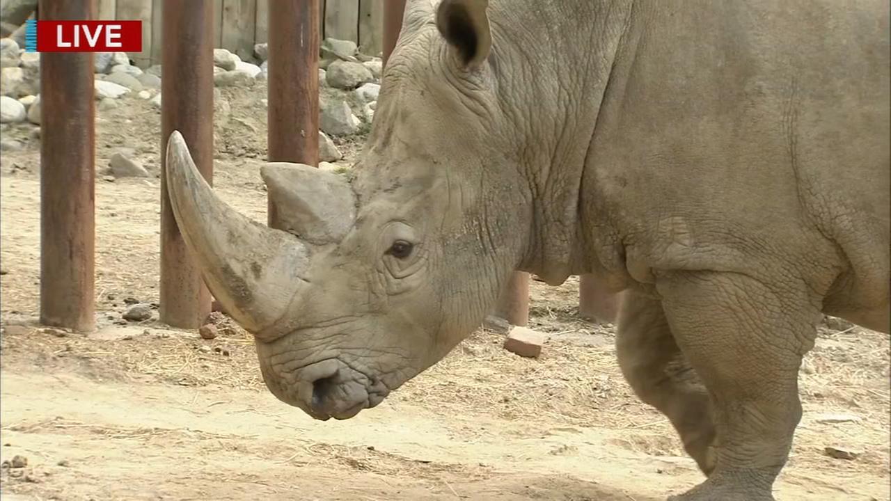 Cecily Tynan visits with Tony the Rhino at the Philadelphia Zoo