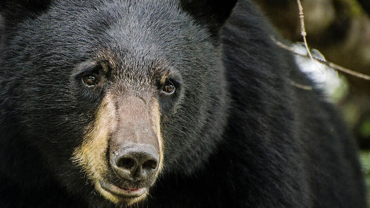 iStock photo of a black bear