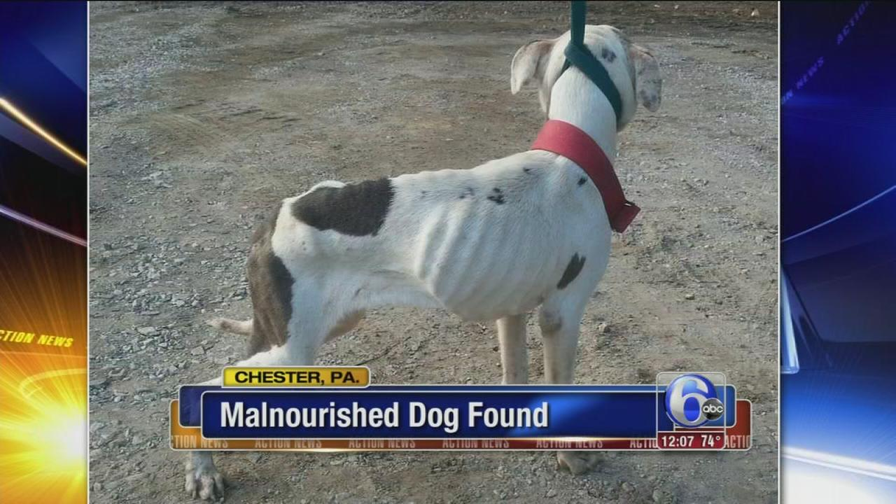 VIDEO: Malnourished dog found in Chester