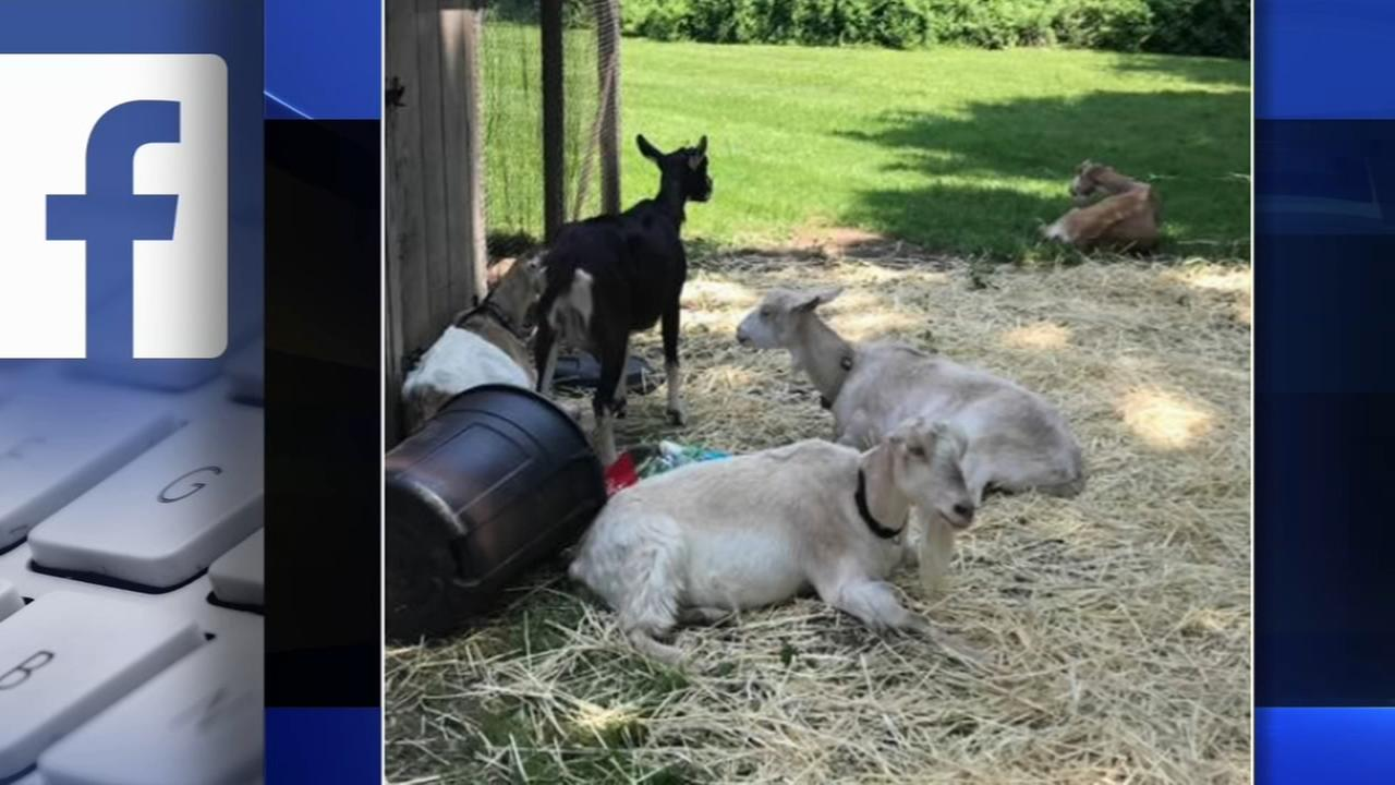 Solebury Township police search for owner of runaway goats
