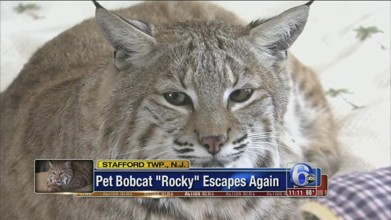 VIDEO: Bobcat escapes again