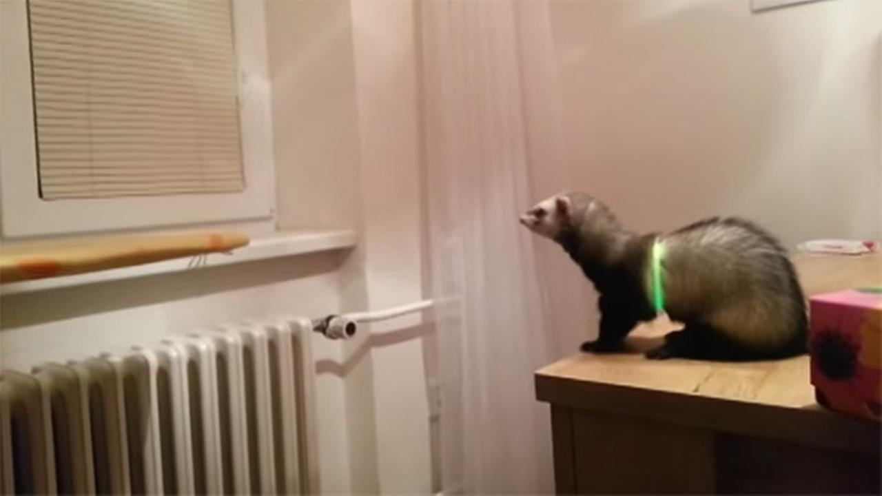 Ferret Fail: Desk jump goes wrong