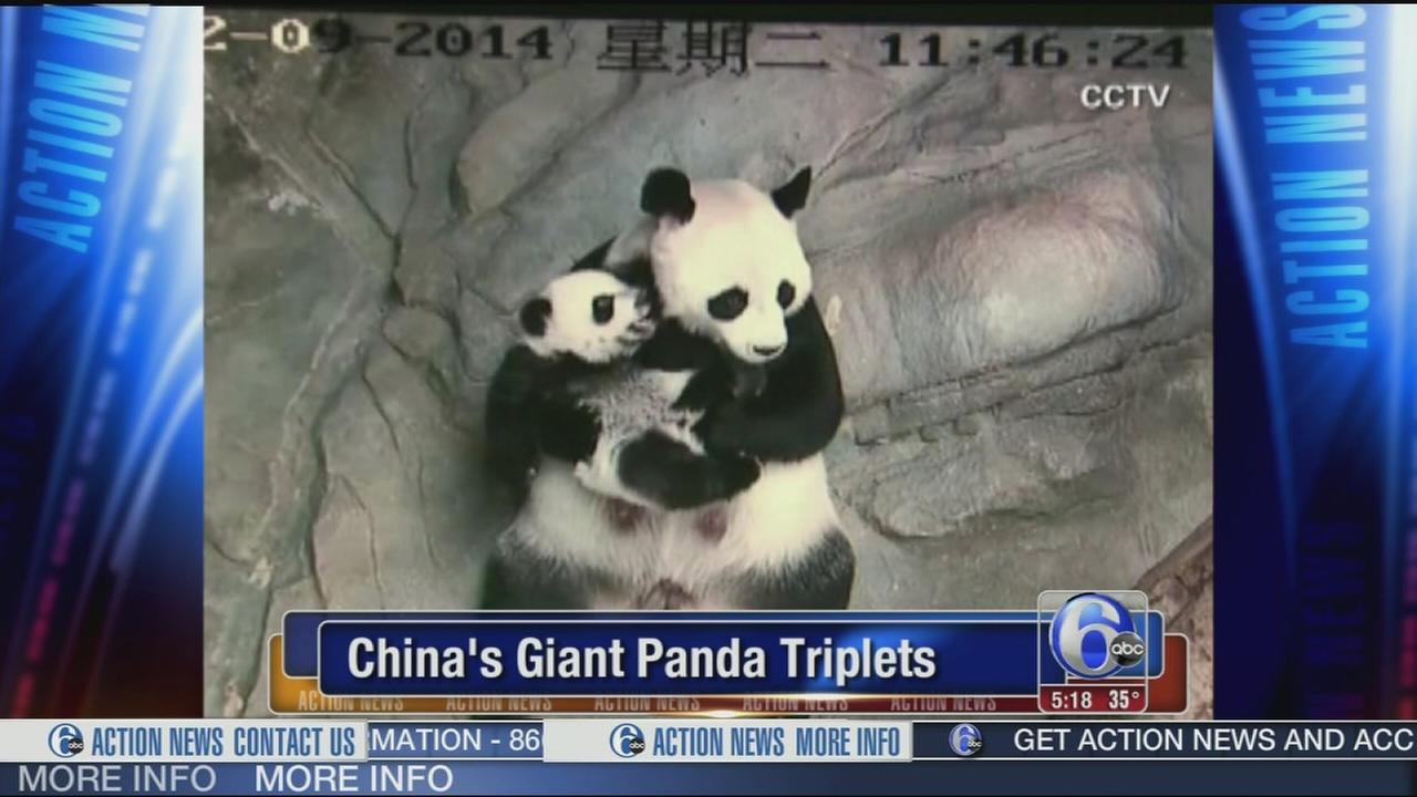 VIDEO: Chinas giant Panda triplets meet their mommy
