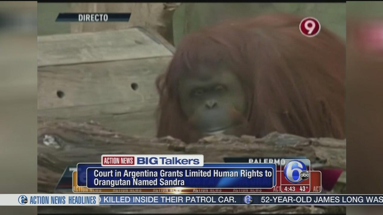 VIDEO: Orangutan granted limited human rights