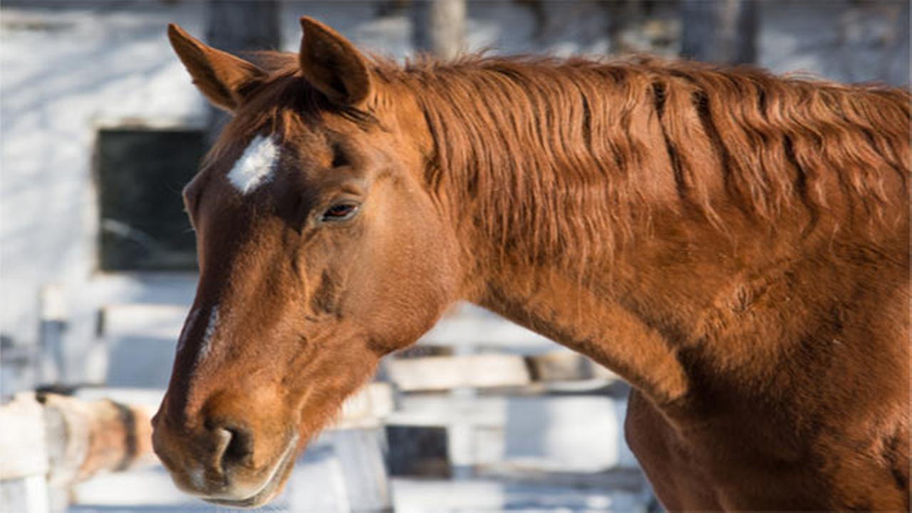 State police seek suspect who cut tails, manes from horses