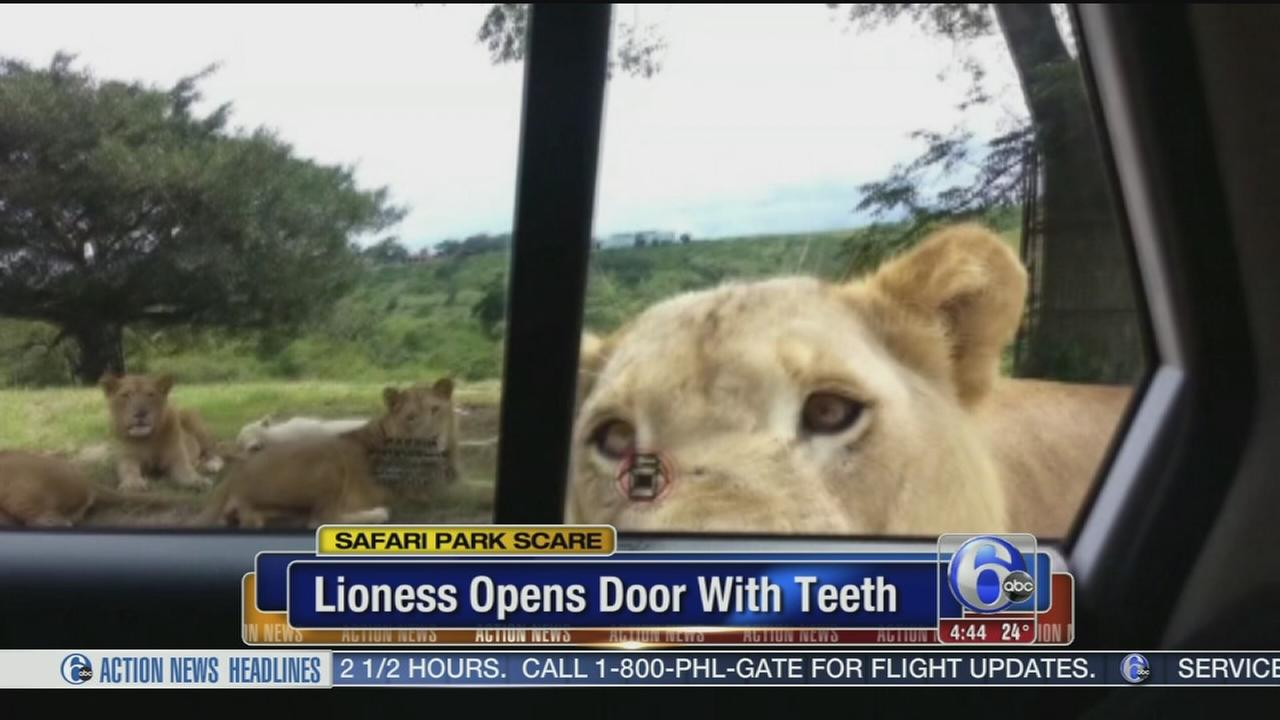 VIDEO: Lioness opens car door with her teeth