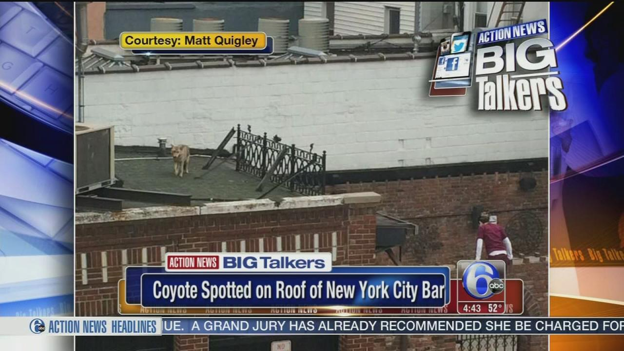 VIDEO: Coyote spotted on roof of New York City bar