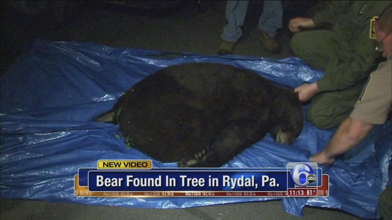 Black bear caught in Rydal, Pa.