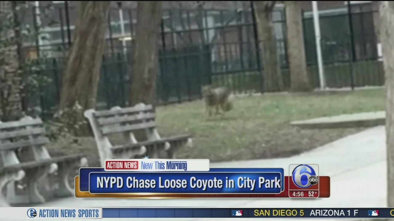 VIDEO: NYPD chase loose coyote in park