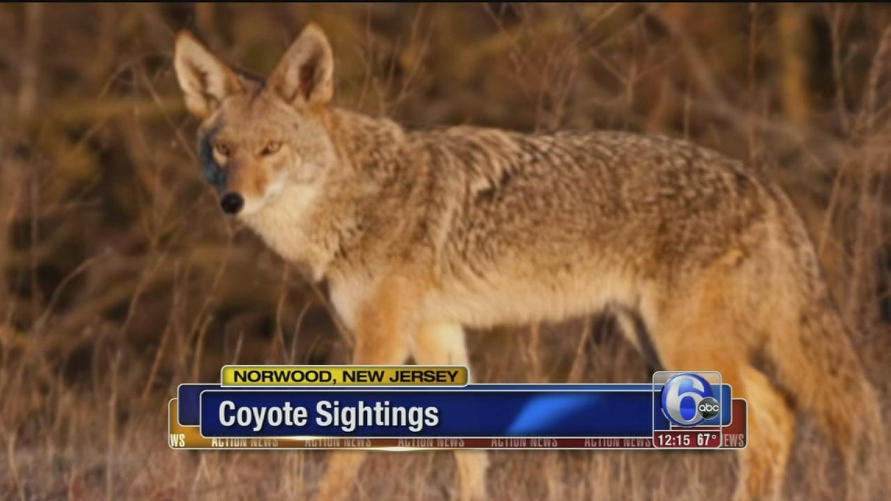 VIDEO: Coyote sightings