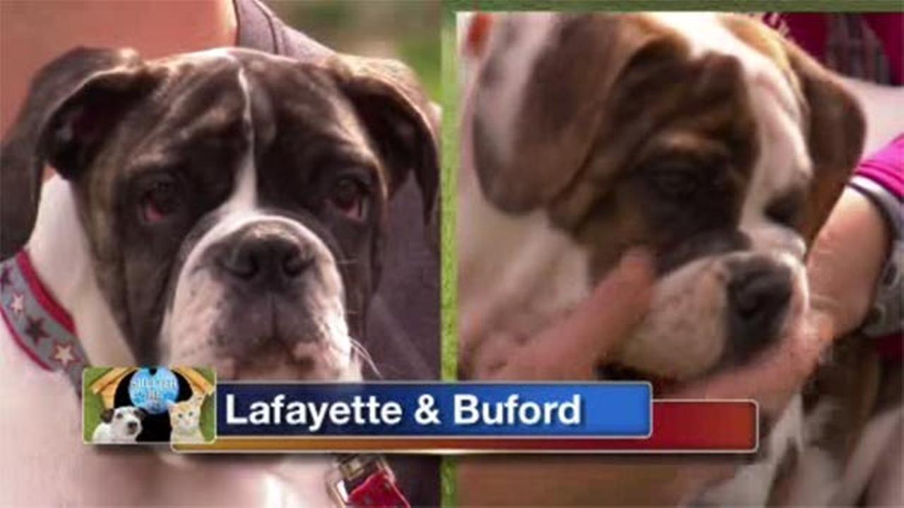 Shelter Me: American Bulldog Rescue
