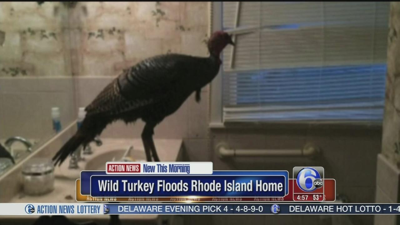 VIDEO: Wild turkey invades Rhode Island home
