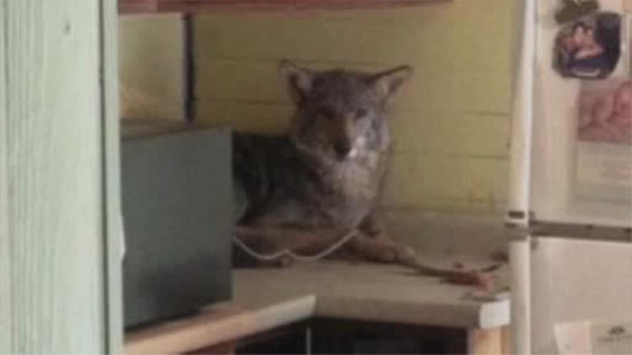 Family finds coyote in kitchen