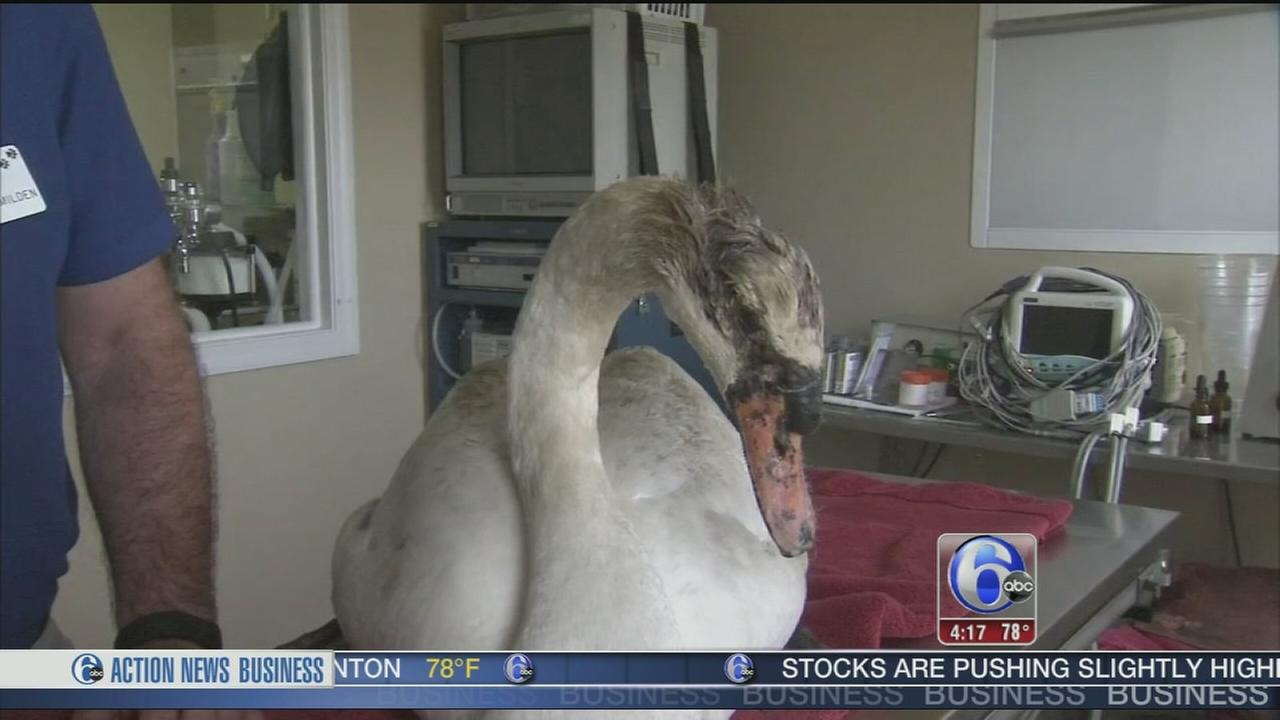 VIDEO: Swan found burned in NJ state park