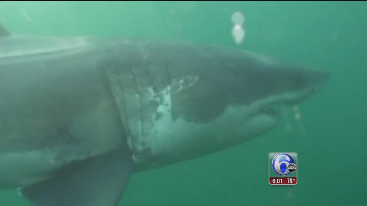 mary lee the great white shark back off new jersey shore com