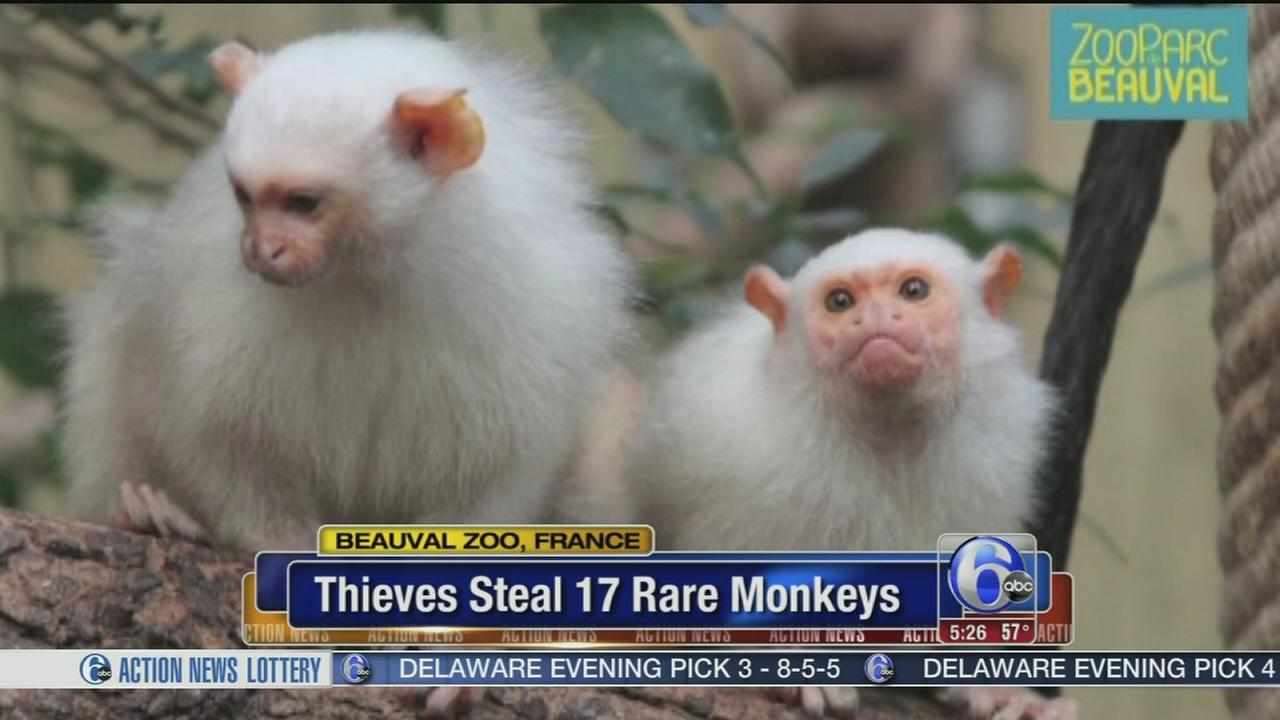 VIDEO: Thieves steal 17 rare monkeys in France