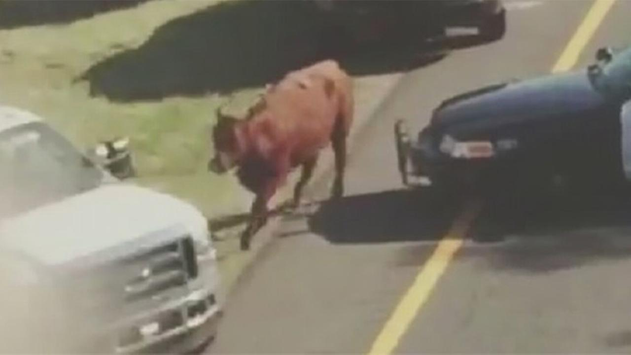 VIDEO: Cow loose on NJ highway off ramp