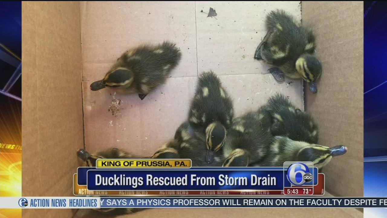 VIDEO: Duckling rescue in King of Prussia