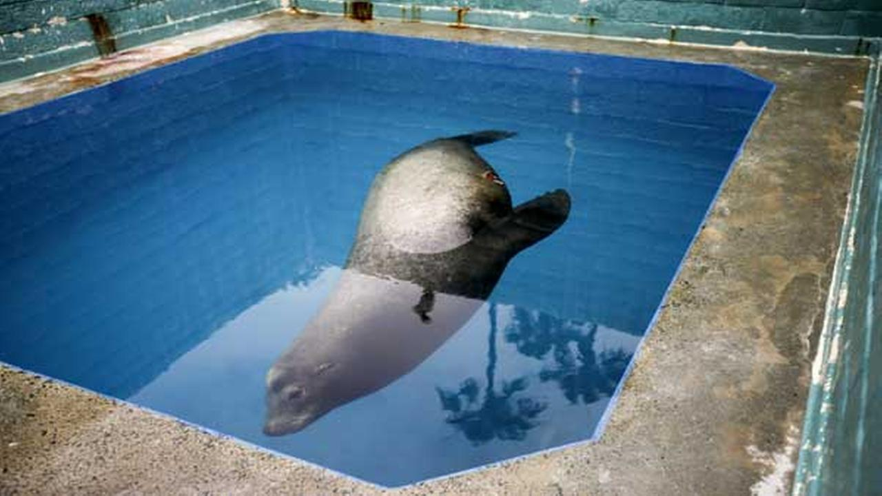 A giant sea lion, nicknamed Bubba, swims in a recovery pool at SeaWorld San Diegos animal rescue center Wednesday, May 27, 2015, in San Diego.