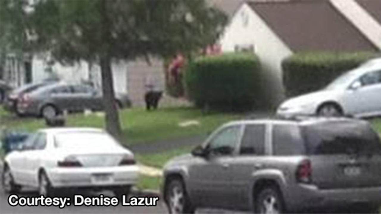 Bear in Bensalem