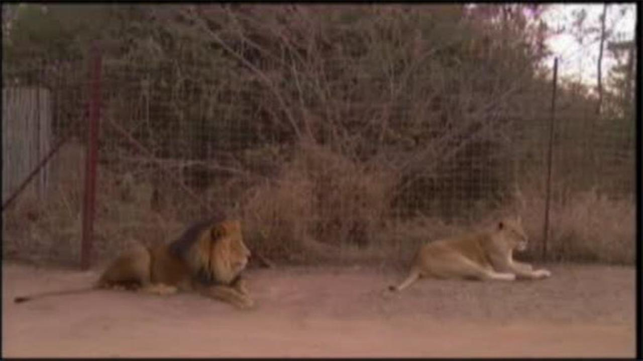 American killed in lion attack